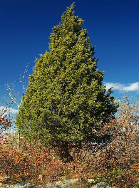 Eastern Red Cedar on Appalachian Trail