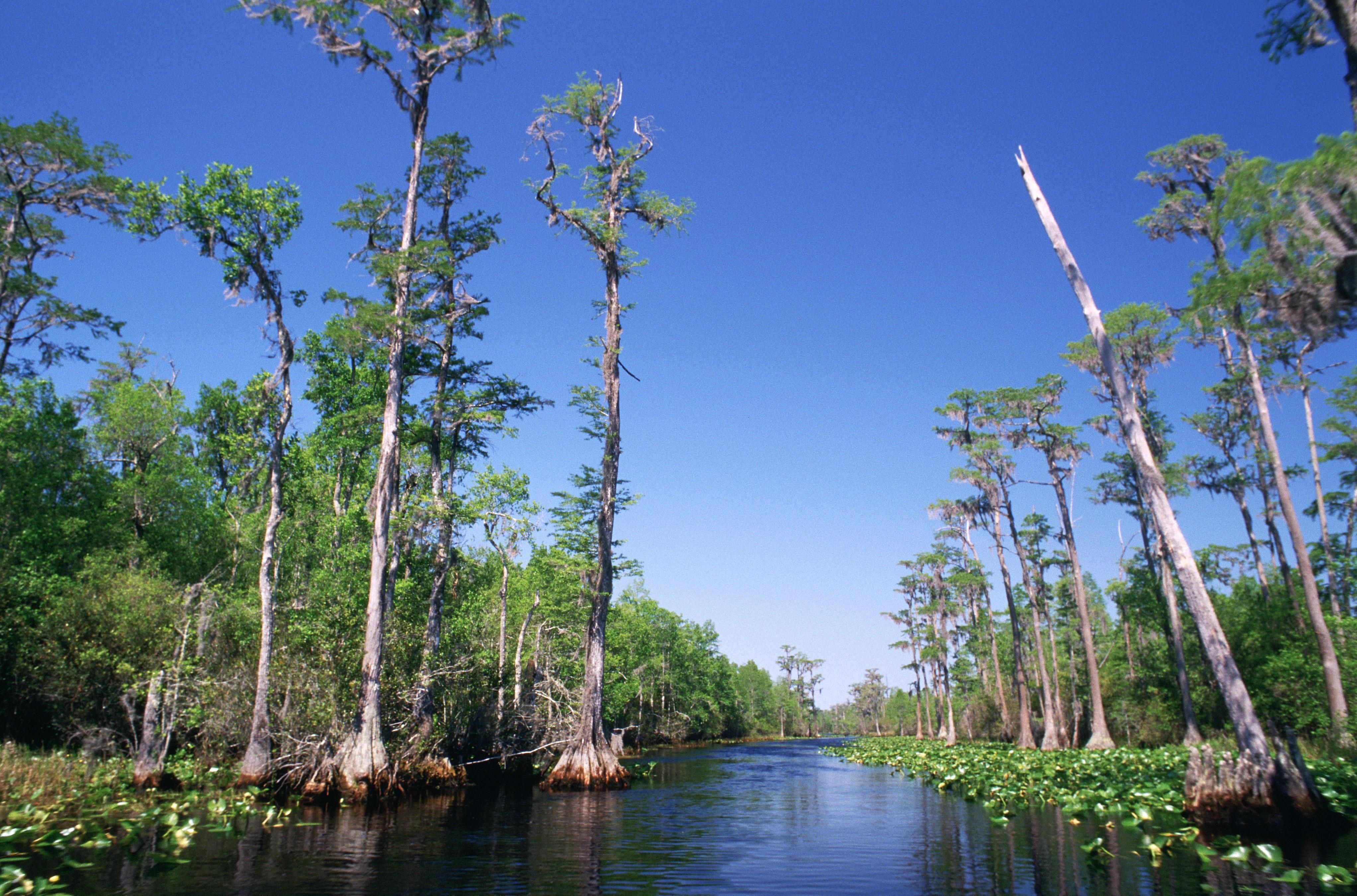 Bald Cypresses in Okenfenokee Swamp