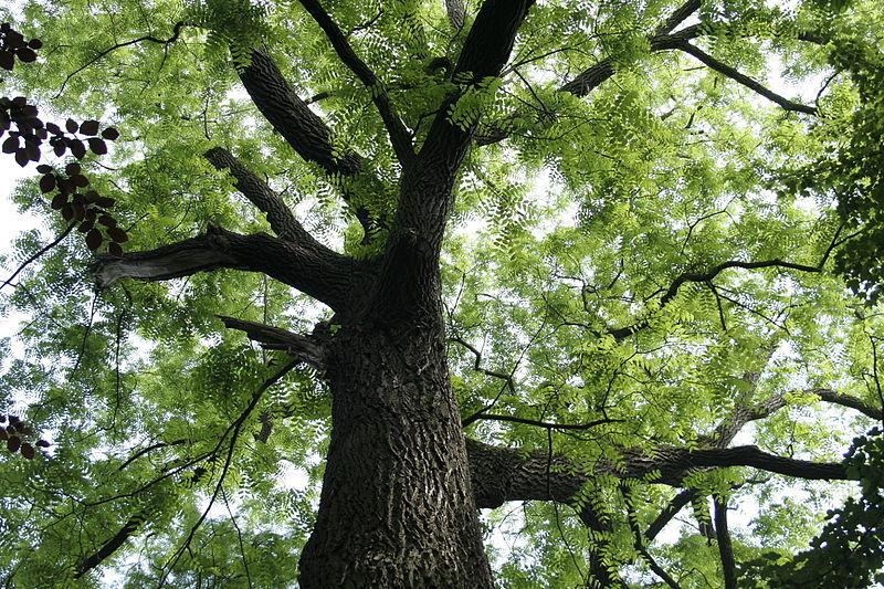 Eastern Black Walnut Tree