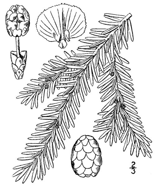 Omeka Ctl Uvm Tree Profiles Eastern Hemlock What