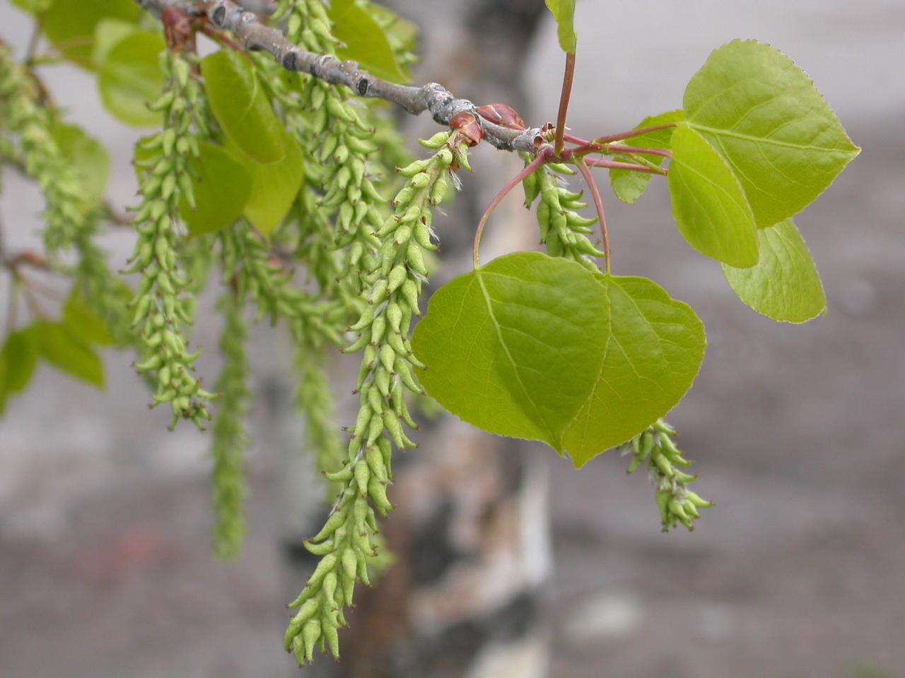 Populus_tremuloides_(5002913002).jpg