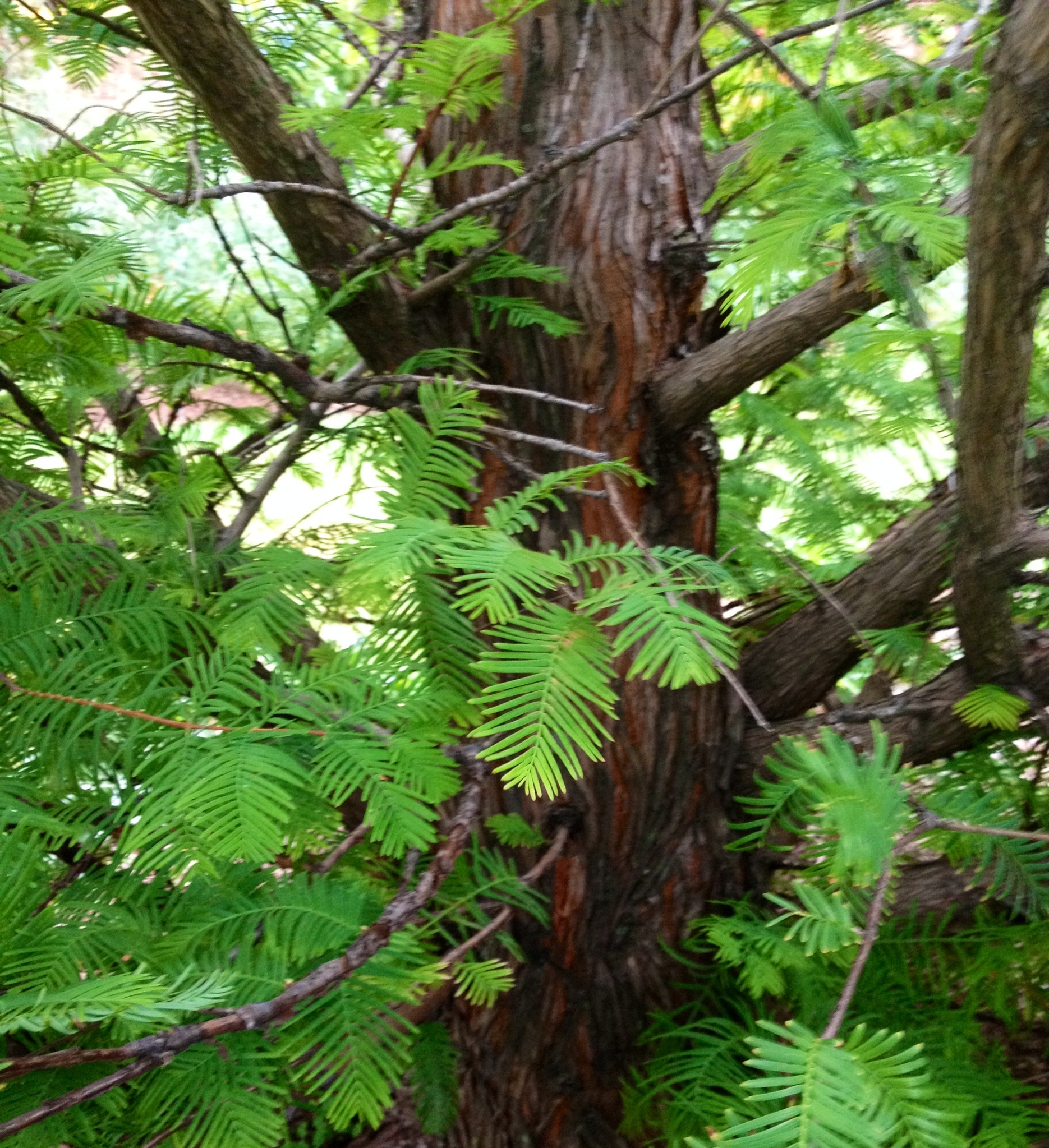 Needles of the Bald Cypress