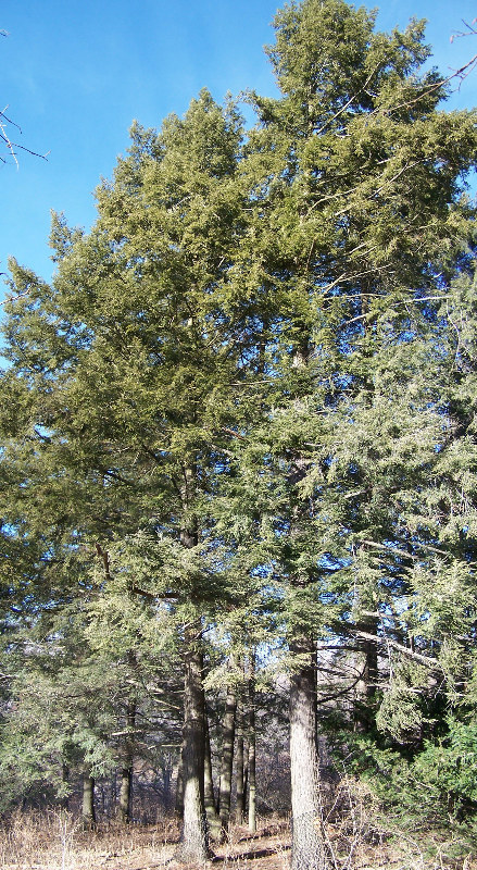 Mature eastern hemlock tree