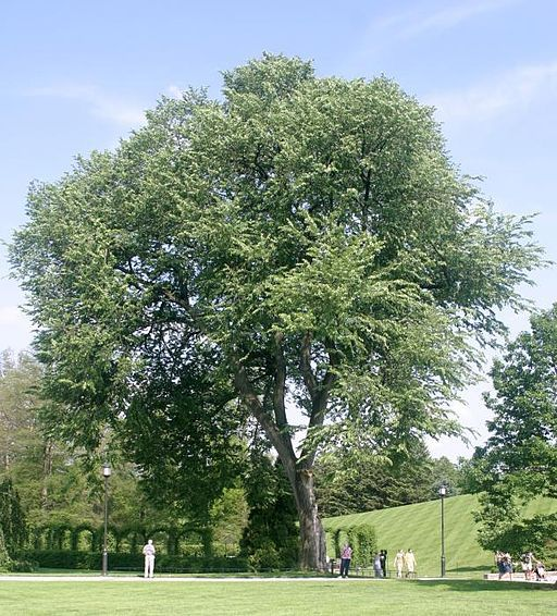 American elm - full tree