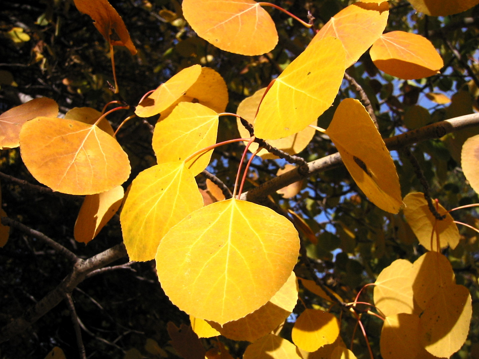 Quaking Aspen Fall Foliage Close-Up