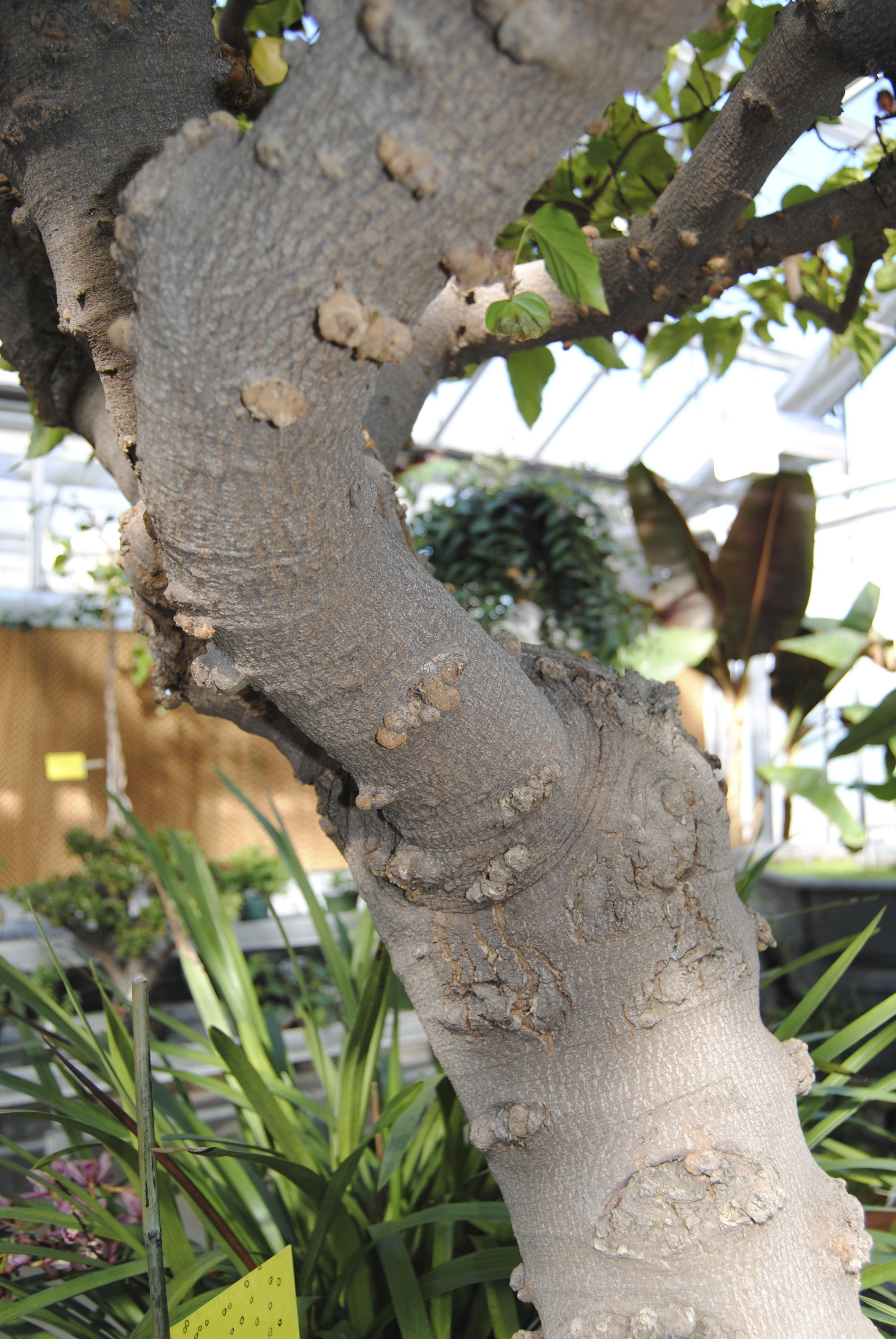 Lipstick Tree Bark