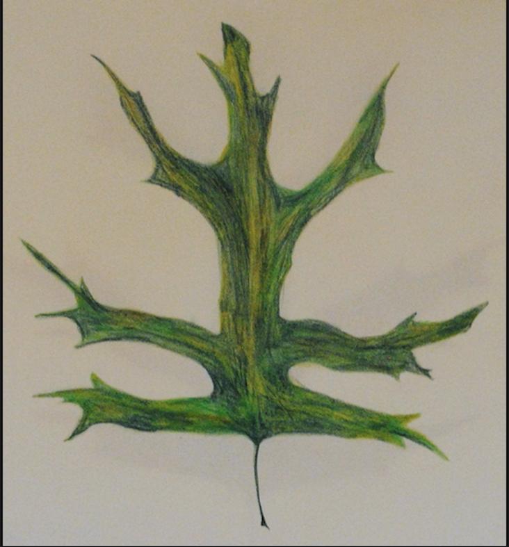 Pin Oak Leaf Summer Illustration.png