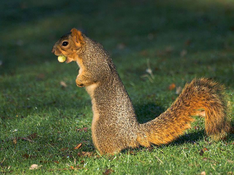 800px-Acorn_Squirrel.jpg