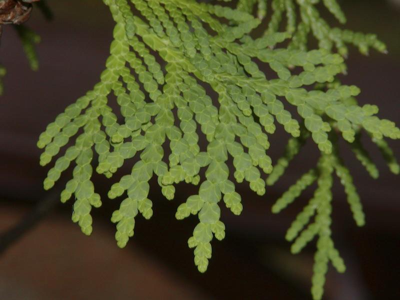Northern White Cedar ~ Omeka ctl northern white cedar