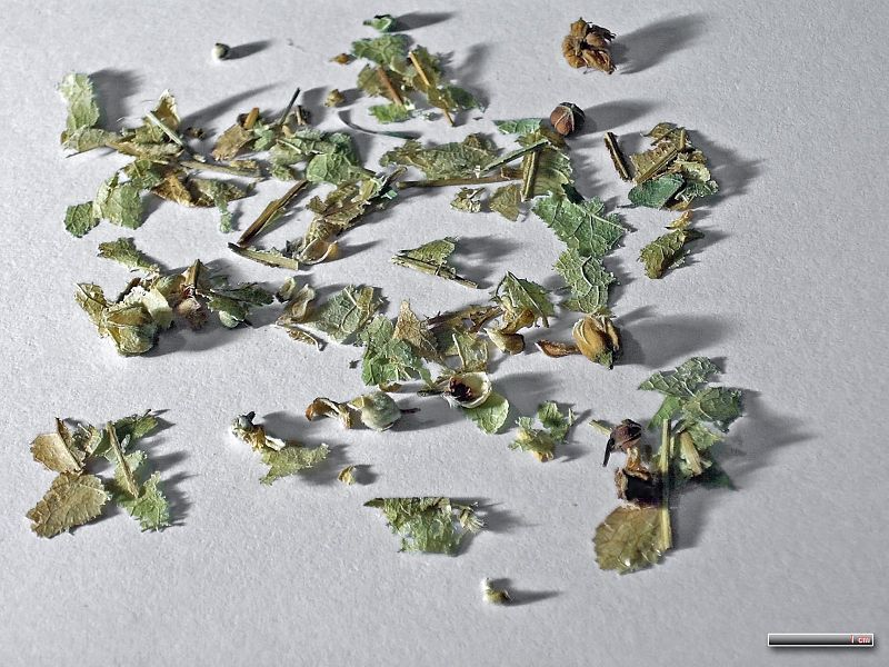 American Basswood - dried leaves