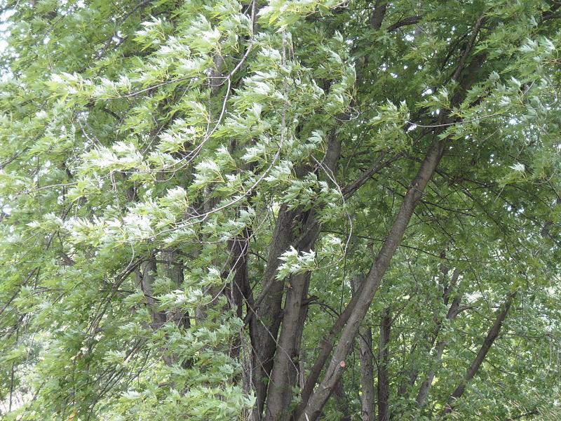 Silver Maple
