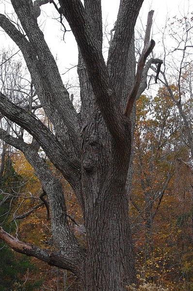 Black_Walnut_Tree_(8202306399)_(2).jpg