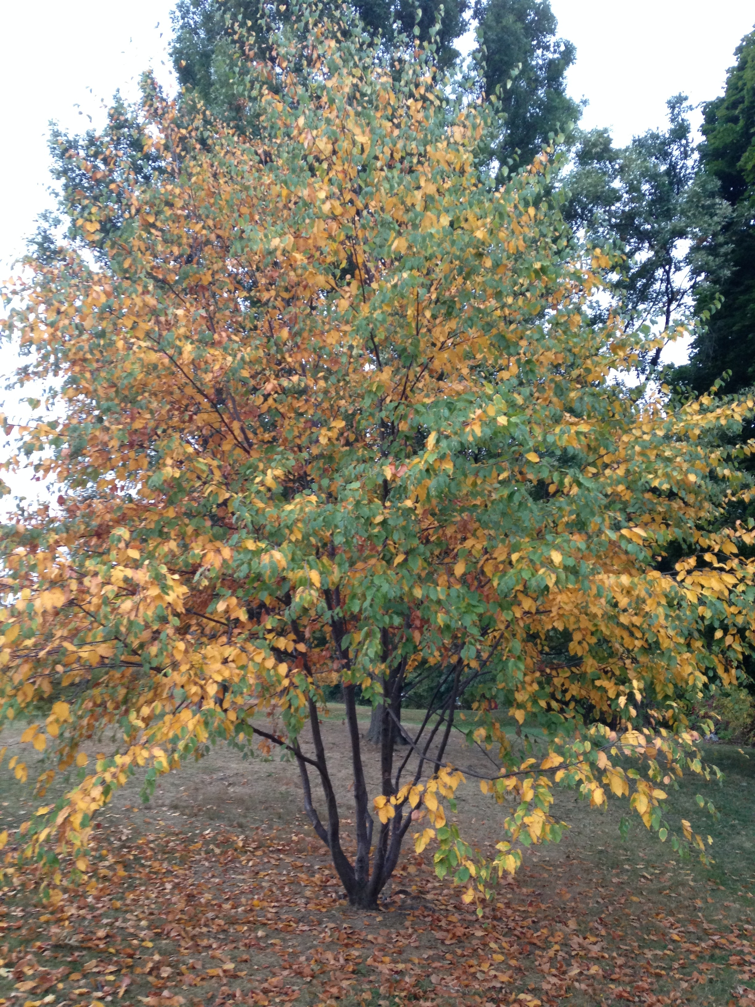 A Young Black Birch Tree in Early Fall