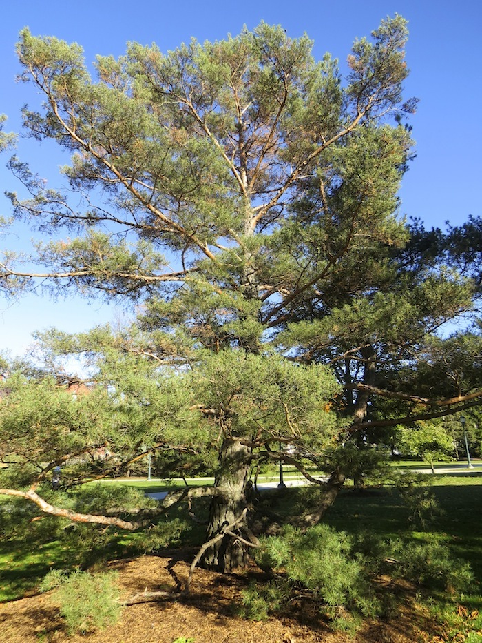 Omeka ctl uvm tree profiles scotch pine overview for Mature pine trees
