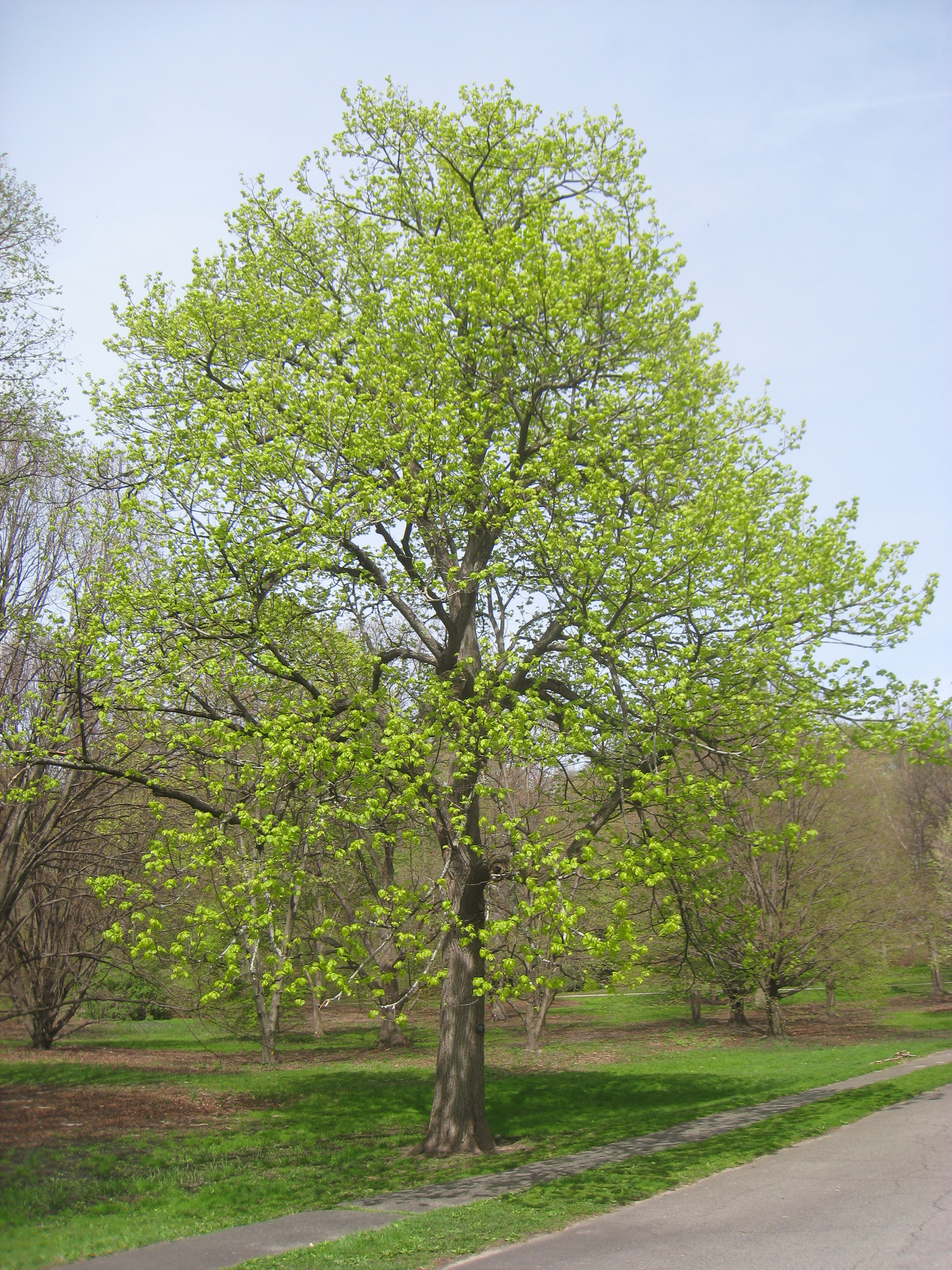 American Basswood - full tree3e