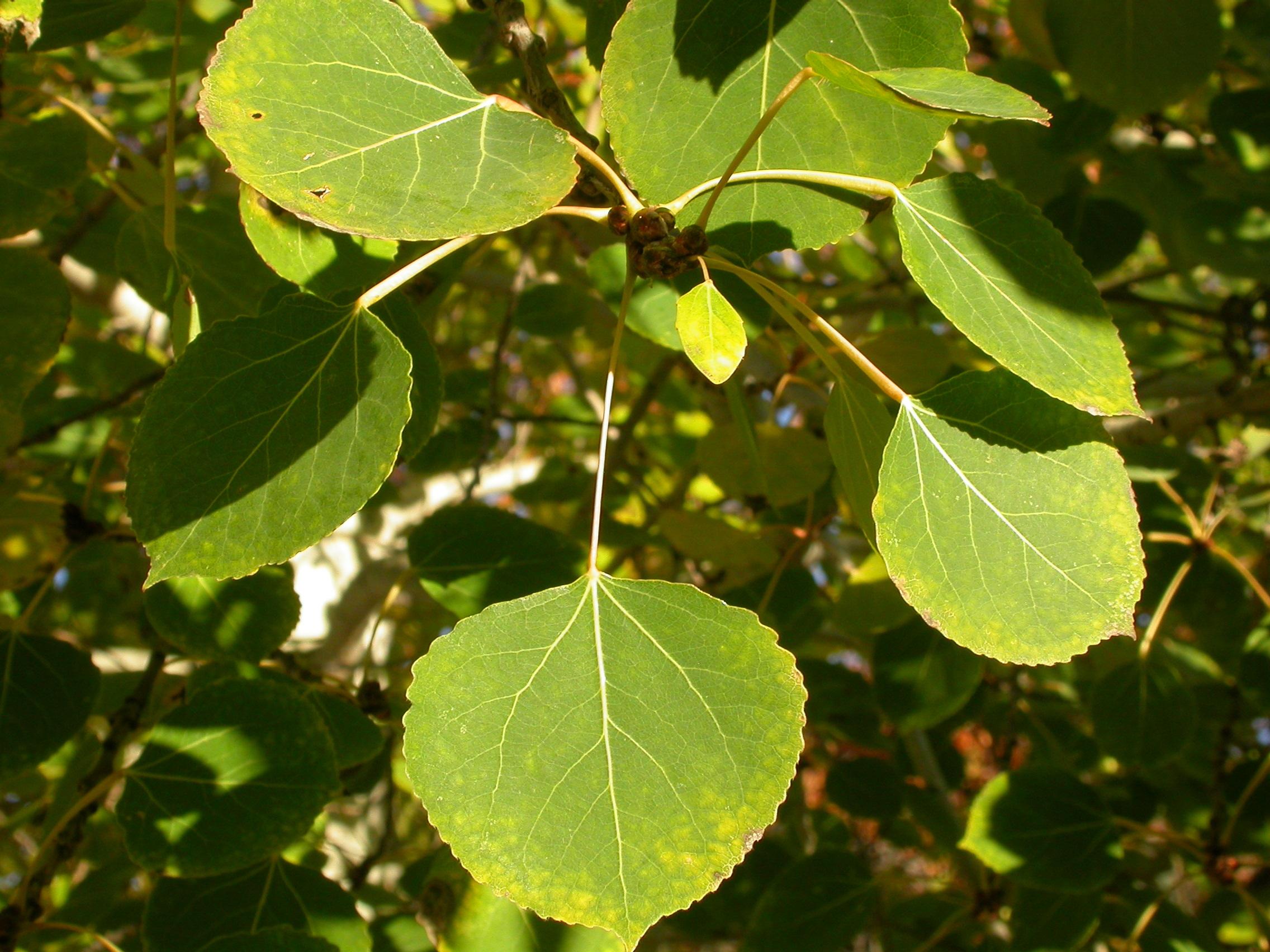 Populus_tremuloides_(5002308731).jpg
