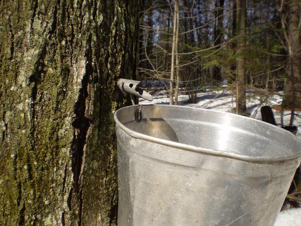 maple-syrup-season.jpg