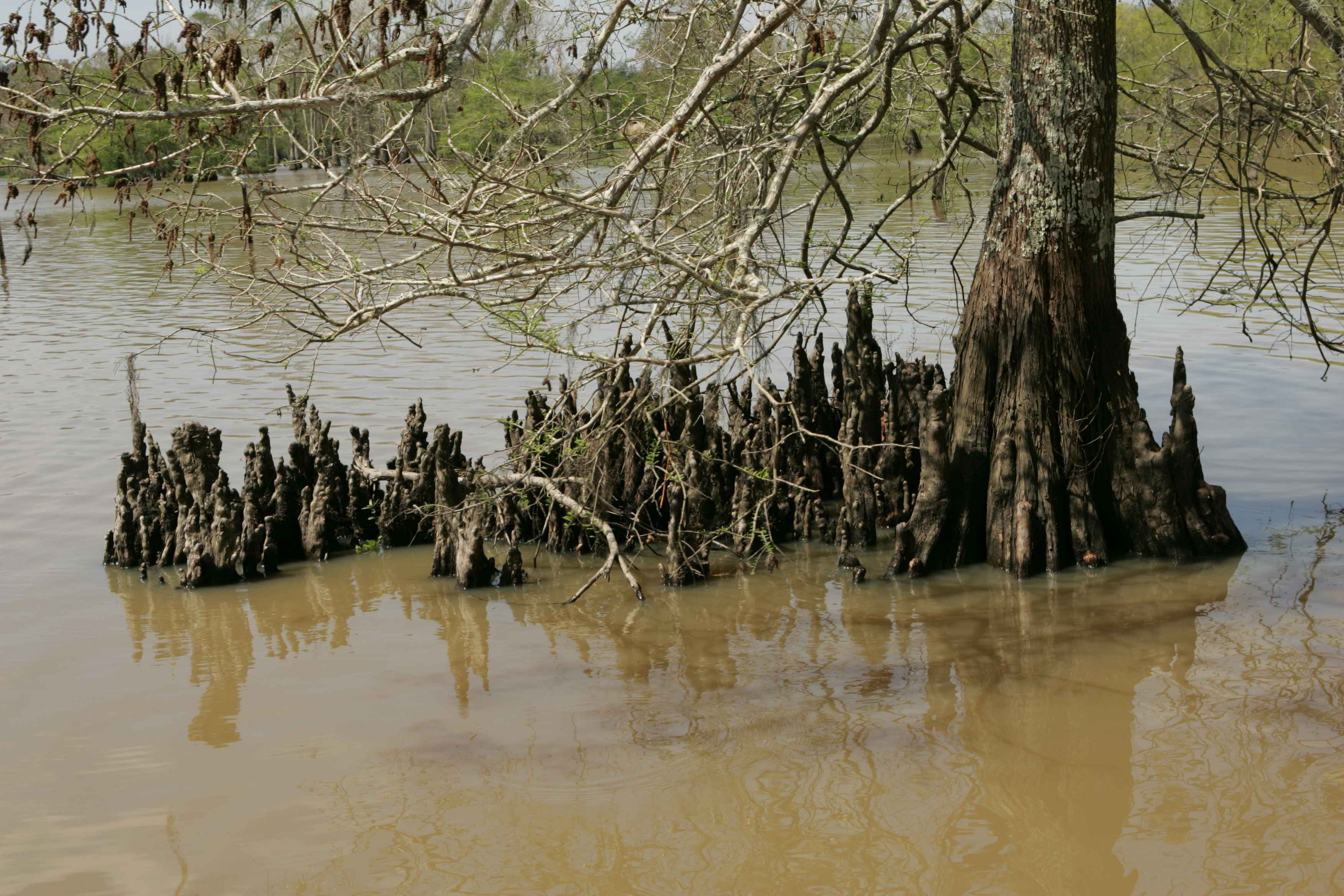 Taxodium_distichum_bald_cypress_trunk_and_knees.jpg