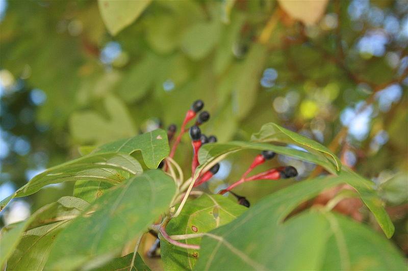 Sassafras fruit