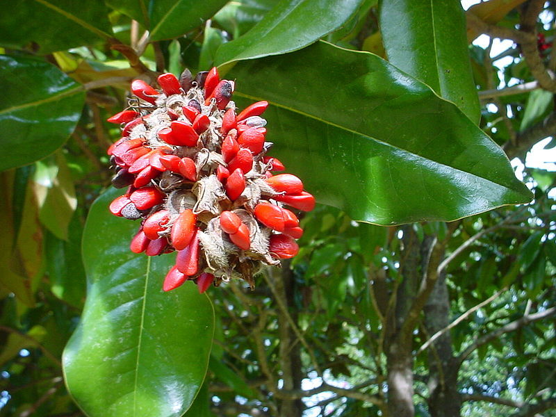 800px-Magnoliatree.jpg