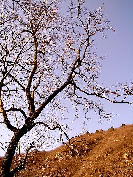 Full View Persimmon Tree