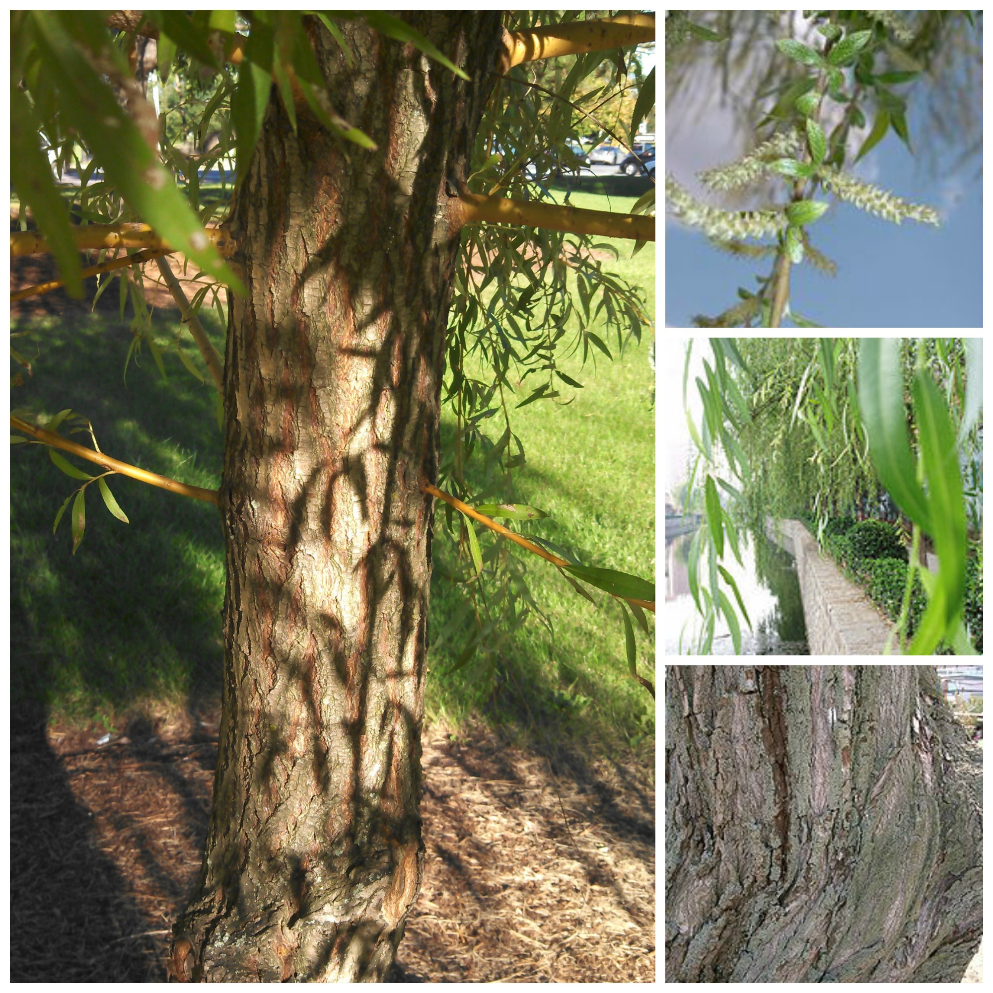Omeka@CTL | UVM Tree Profiles : Weeping Willow : Description and ...