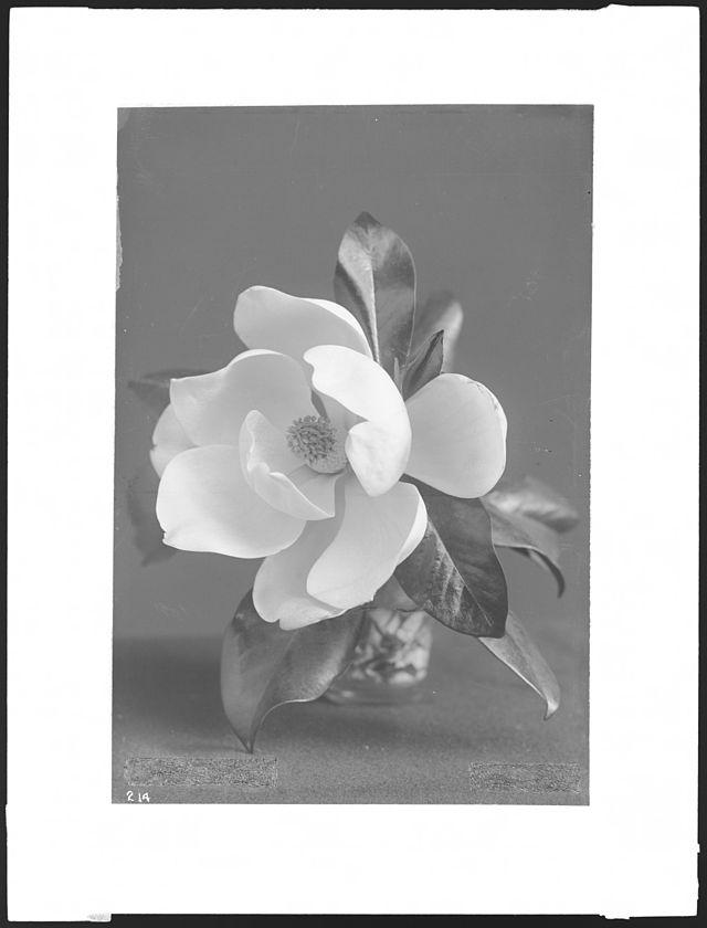 Close-up specimen of Magnolia blossom ca.1920