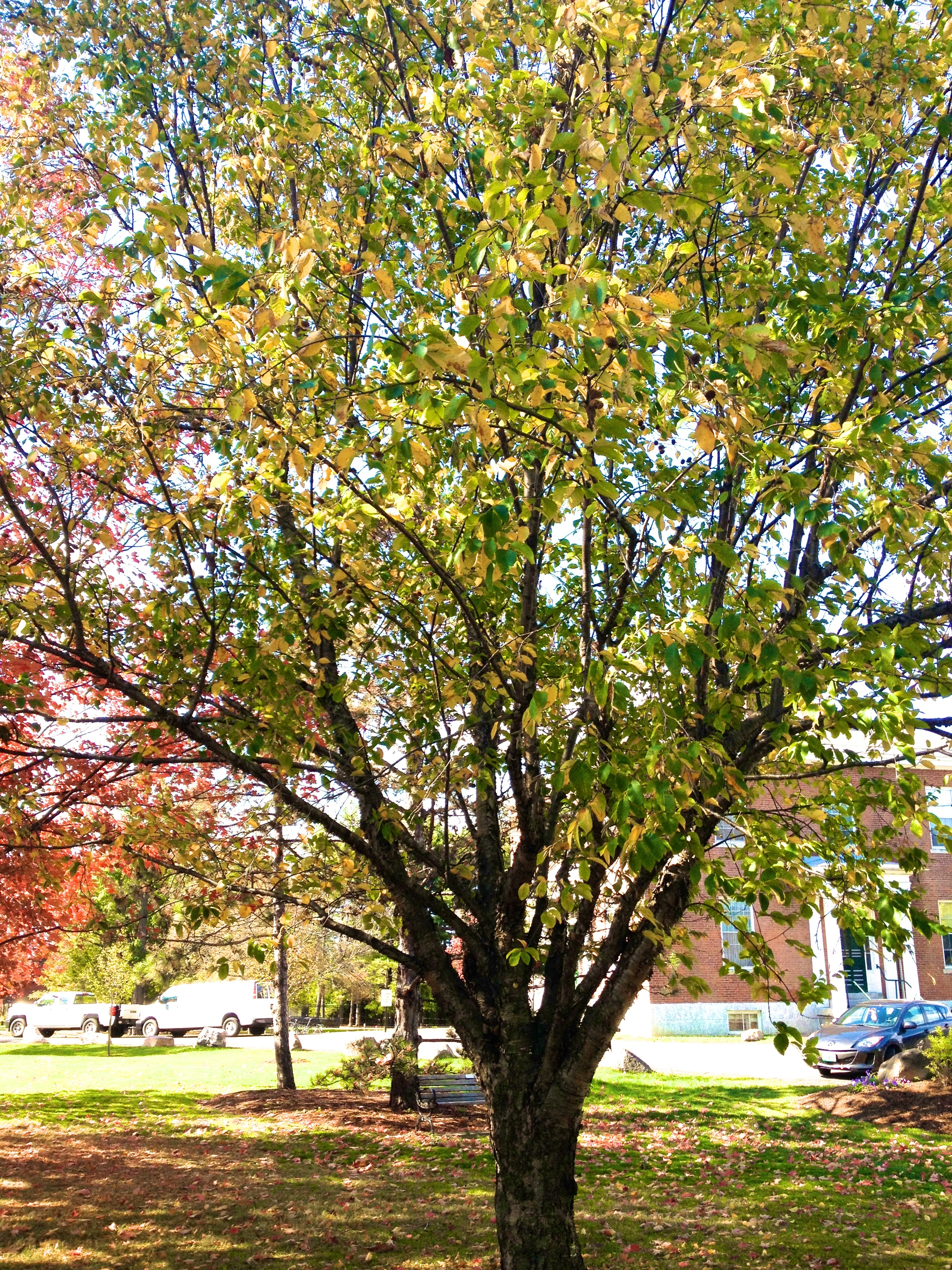 A yellow birch on UVM campus