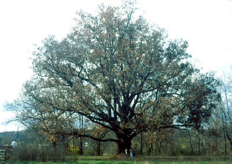 White Oak Whole Tree