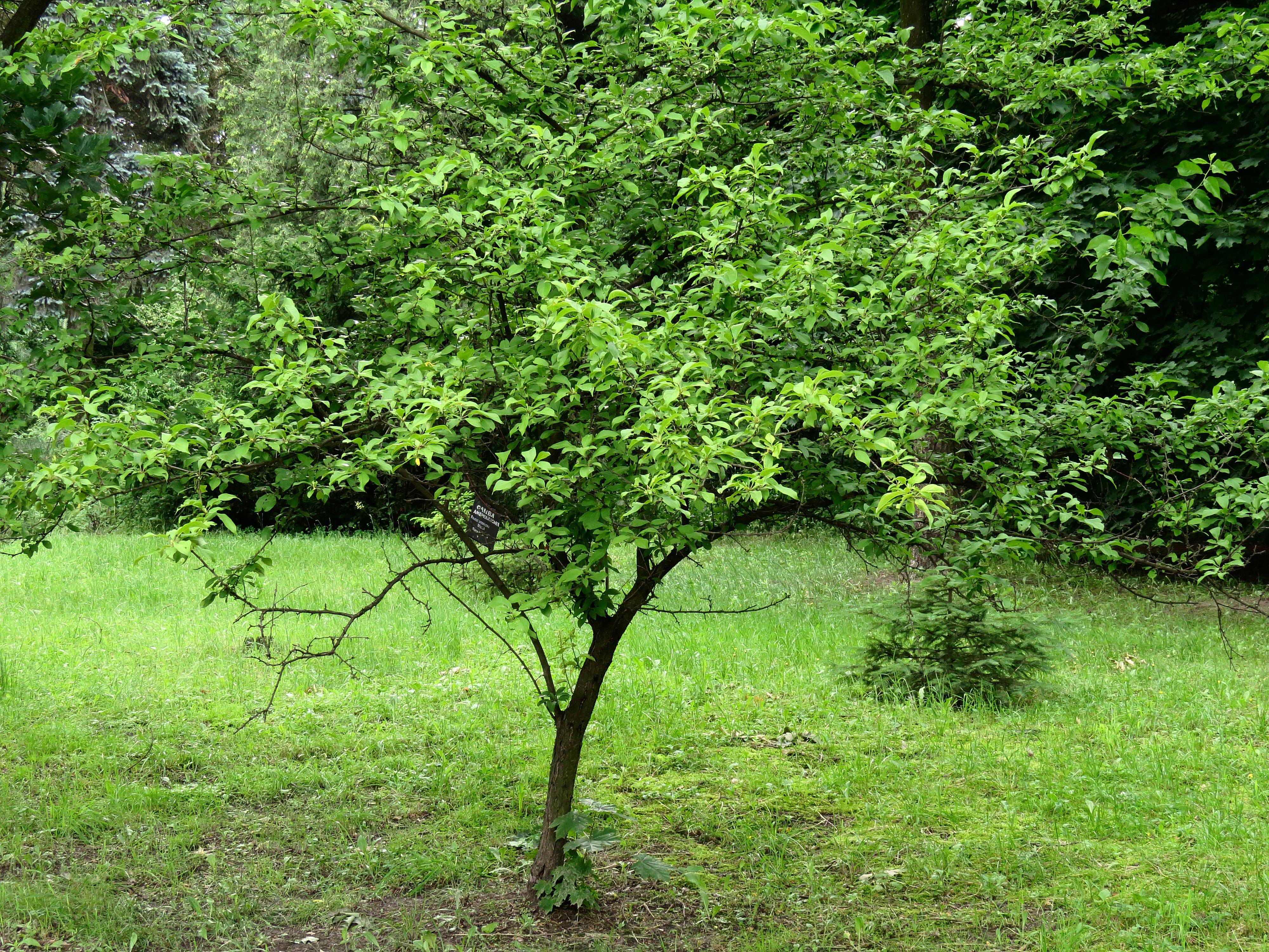 Prunus Americana Syrets1