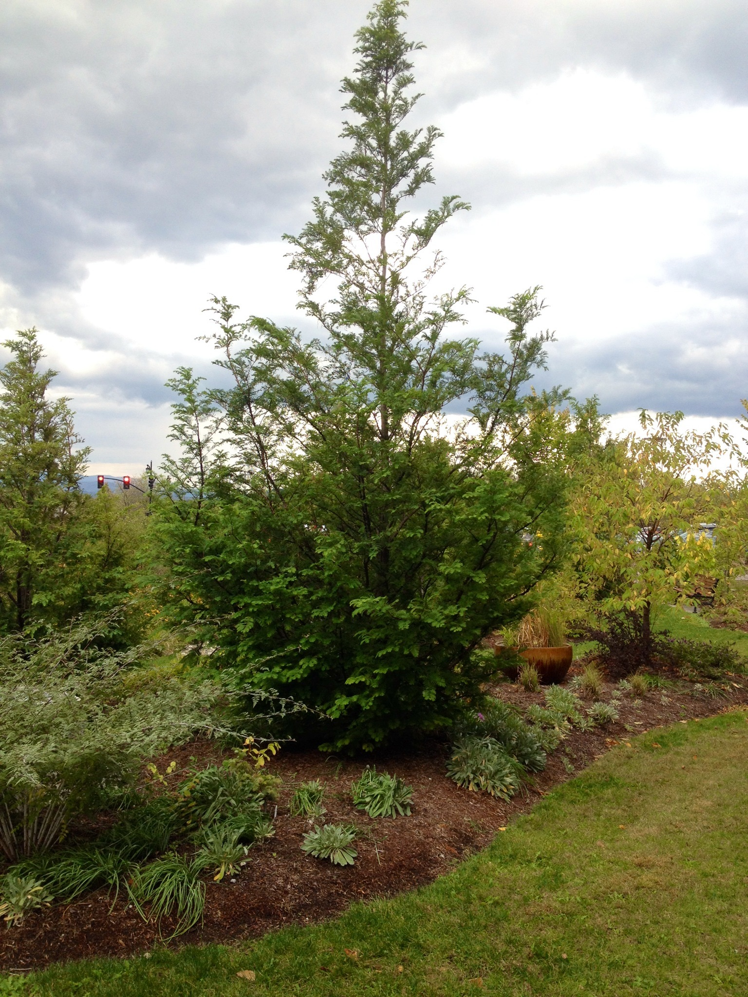 Bald Cypress on the UVM Campus