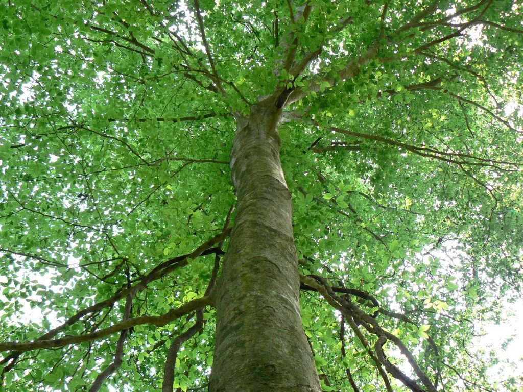 Uses For Beech Wood ~ Omeka ctl uvm tree profiles american beech