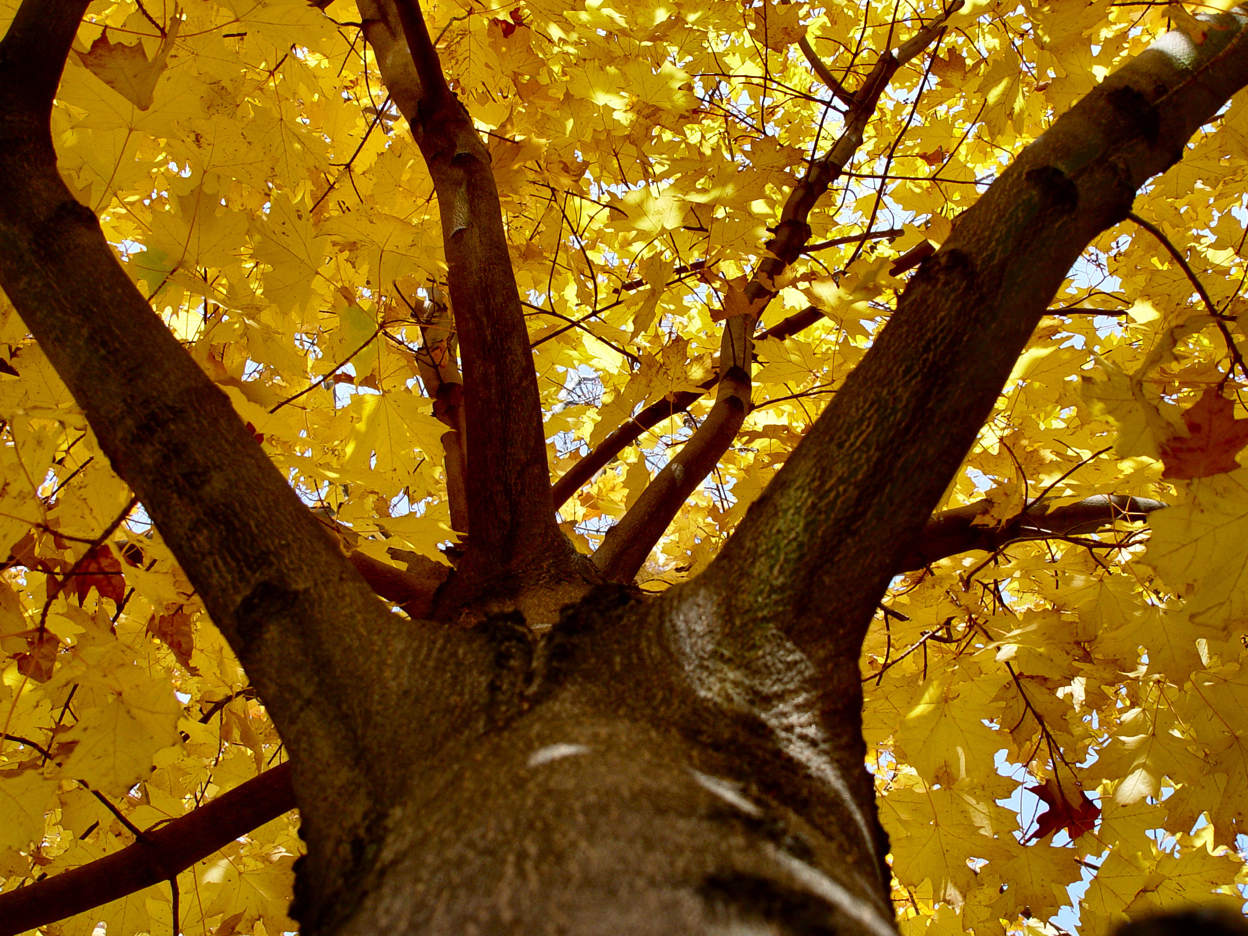 Looking up into a Norway Maple Acer platanoides bursting with autumn colors