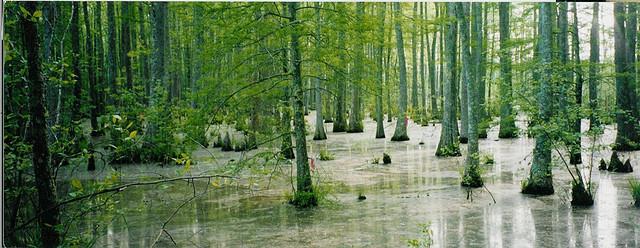 Black Tupelo Swamp
