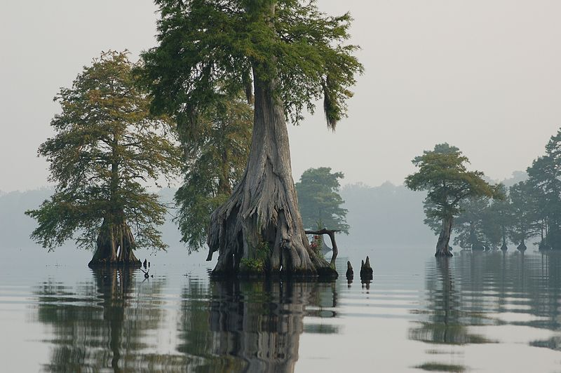 Bald Cypresses in Great Dismal Swamp