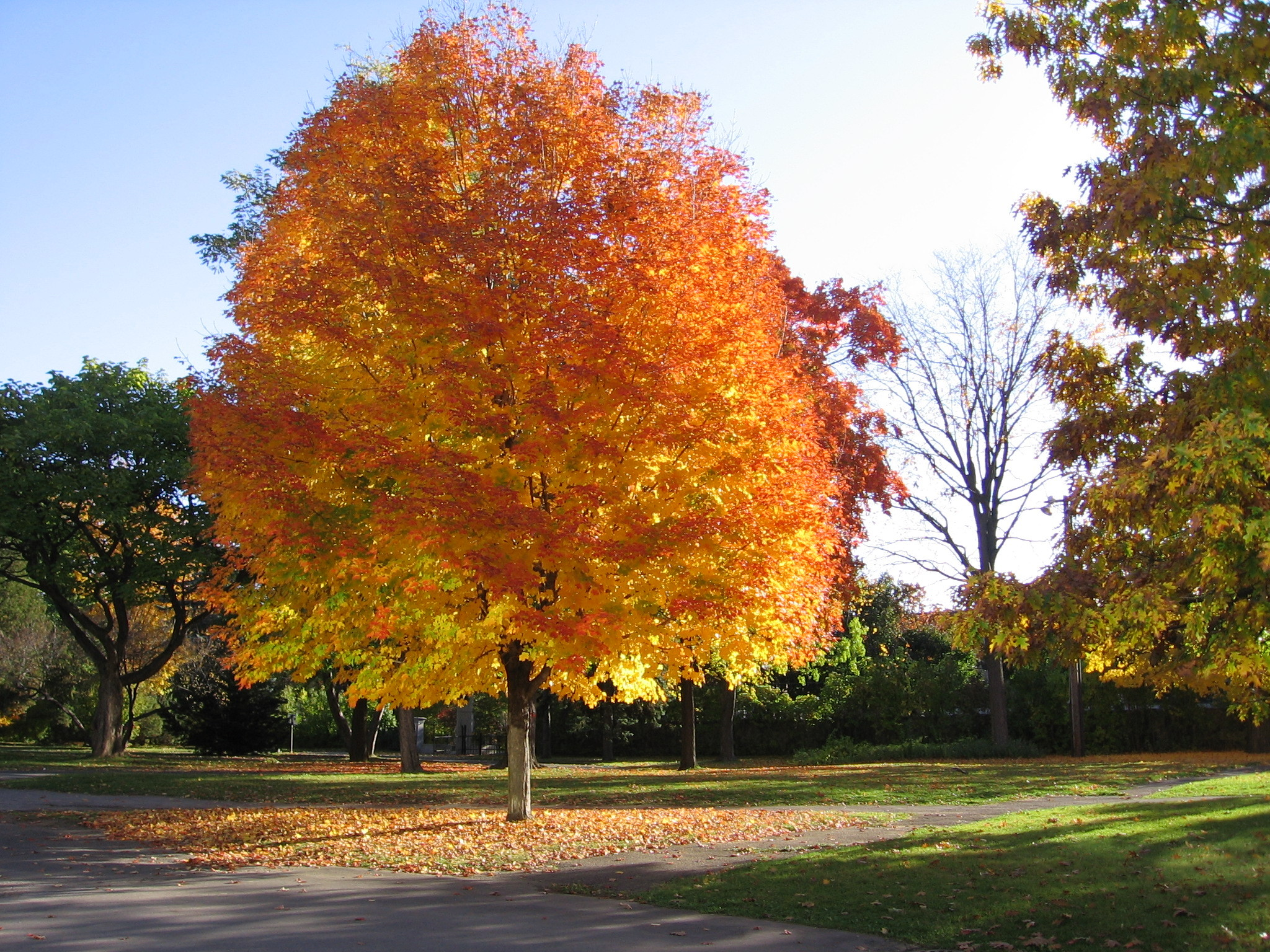 Omeka@ctl  Uvm Tree Profiles  Norway Maple  Invasive. Cheap Living Room Furniture In Dallas Tx. Living Room Design Ideas Eclectic. Living Room Decor Eclectic. Living Room Kitchen Color Schemes. Images Living Room Lighting. Living Room Painting Color Schemes. Living Room Chairs Pinterest. The Living Room Realty