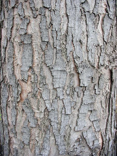 Silver Maple bark