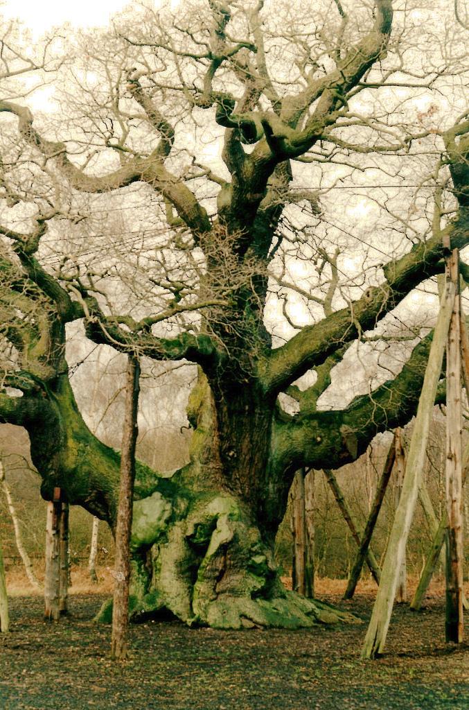 English Oak, Sherwood Forest
