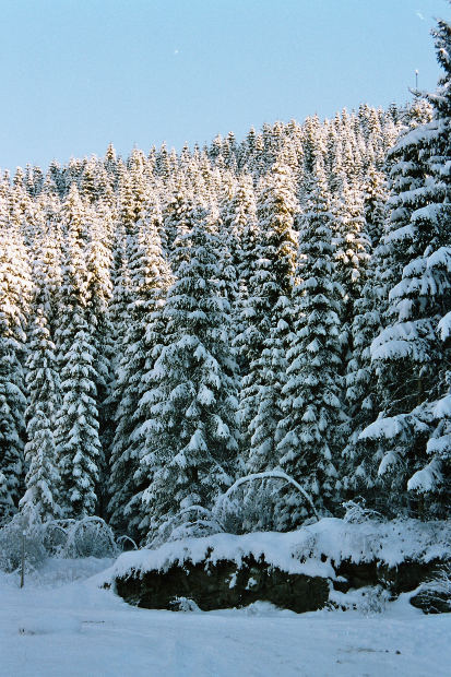 Norway Spruce stand in winter
