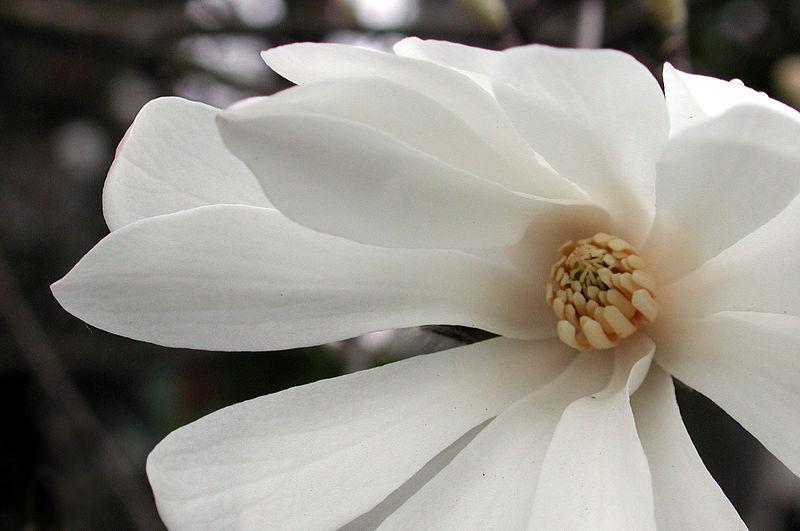 Star Magnolia- close up