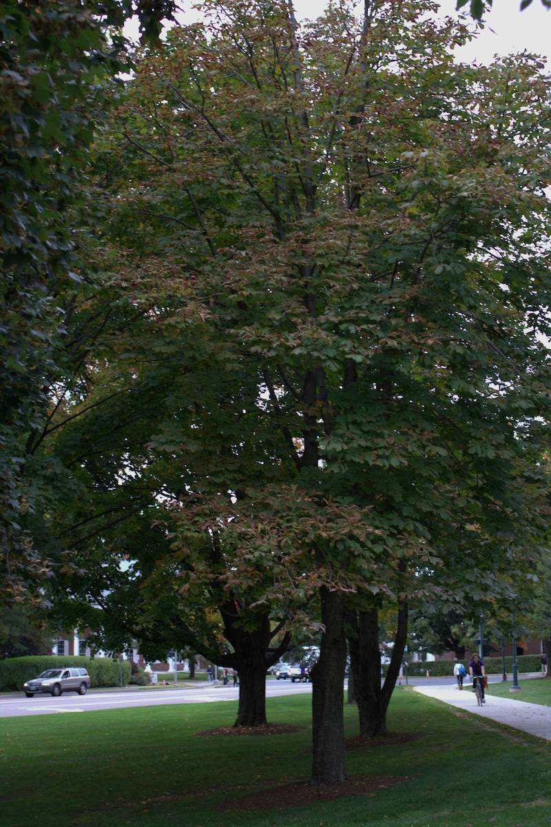 A Horse Chestnut Tree