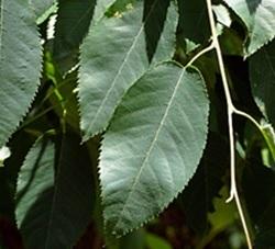 Shadbush Leaves