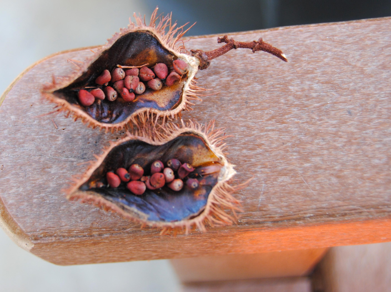 Lipstick Tree seeds