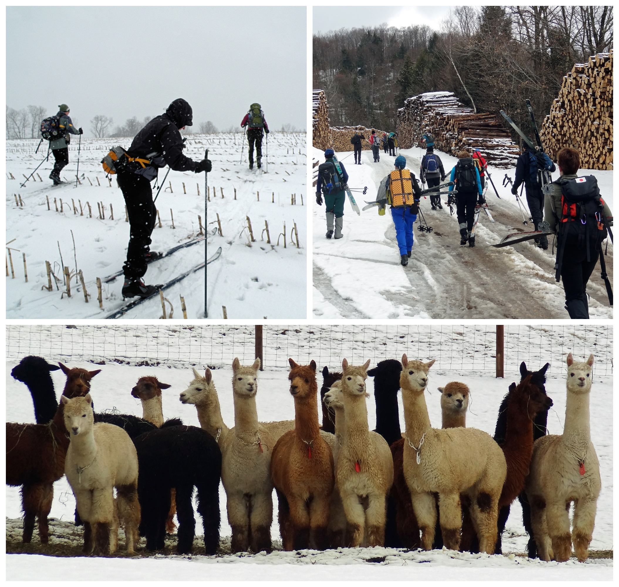 Llamas and People