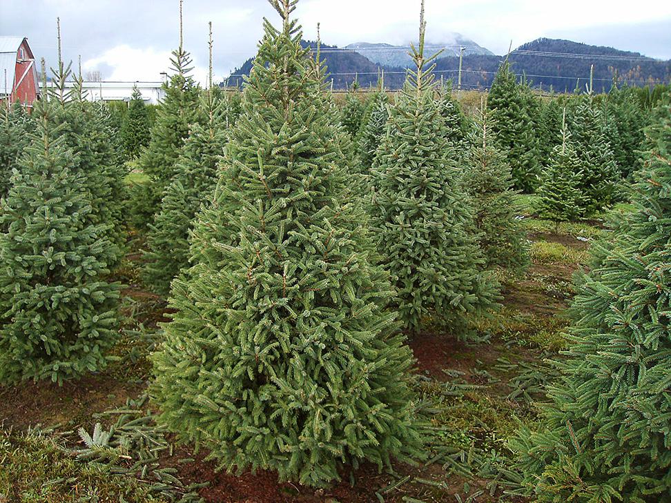 white spruce christmas tree farm - White Spruce Christmas Tree