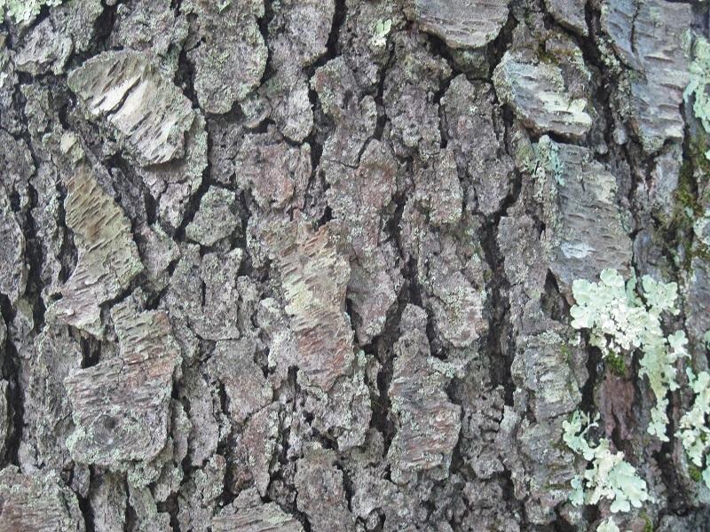Prunus serotina bark Prunus Serotina Bark