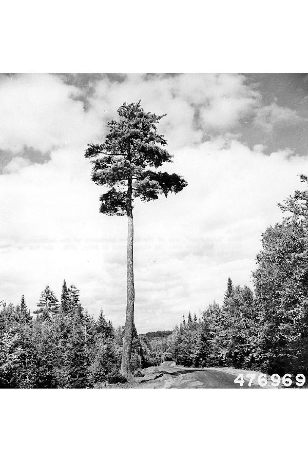 Omeka ctl white pine mature tree for Mature pine trees