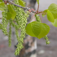 Quaking Aspen Branch with Catkins and Leaves