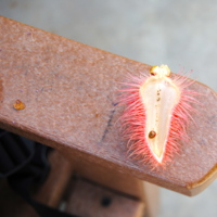 Lipstick Tree pod