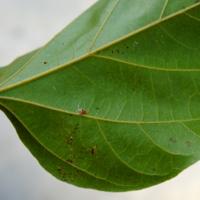 Lipstick Tree Leaf